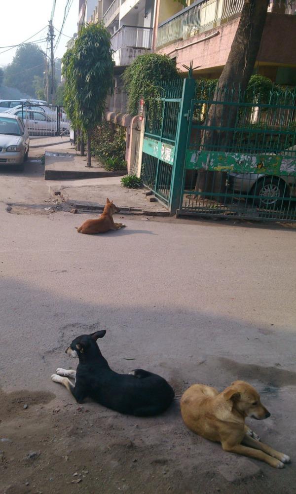 Delhi dogs